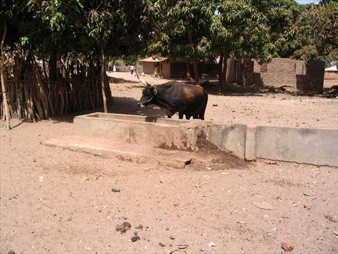 Bull in the village