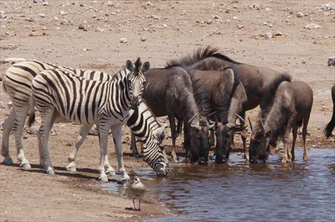 Zebra Wildebeast at waterhole