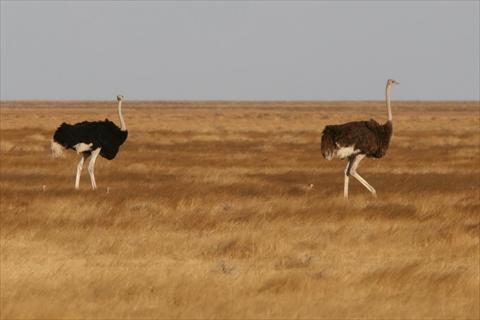 Ostrich male and female
