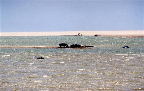 Hippos on the sandbank
