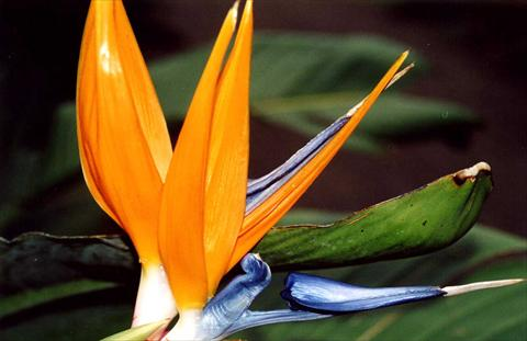 Bird-Of-Paradise Flower