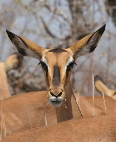 Female Black Faced Impala