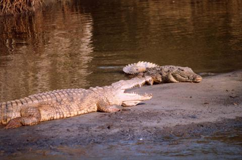 Crocodiles cooling off