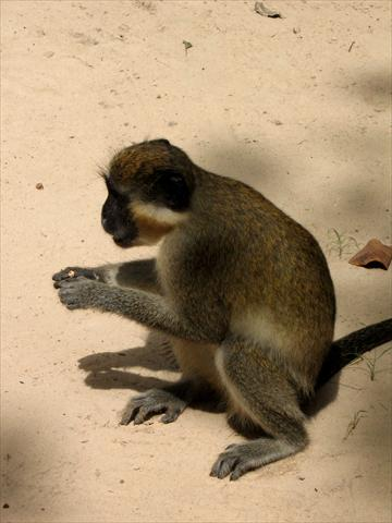 Monkey eating groundnuts