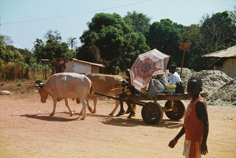 Ox cart passing by