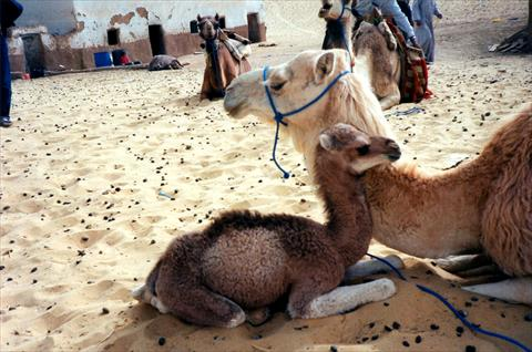 Camel with baby