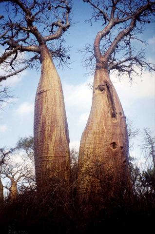 Funny baobabs