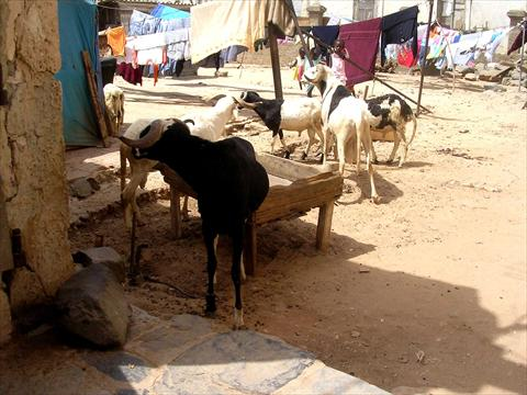 Goats in the compound