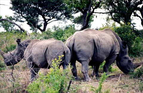 Rhinos from behind