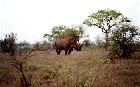 Rhino with long horn