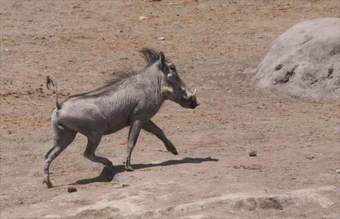Warthog at waterhole