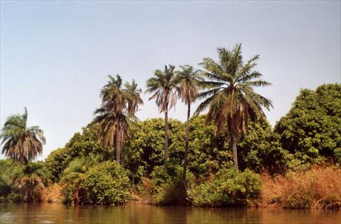 Palmtrees at the river