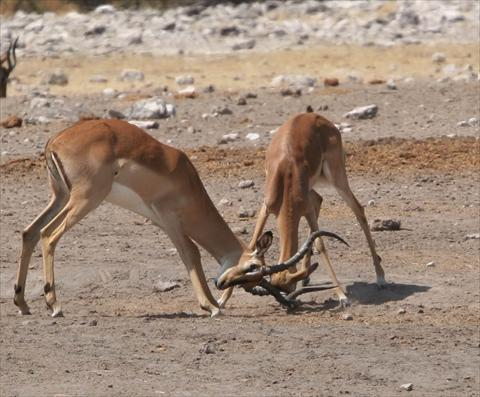 Impala fighting